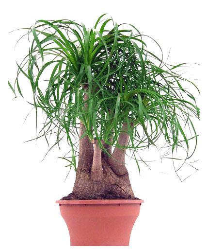 Les bonsa s - Yucca pied d elephant ...