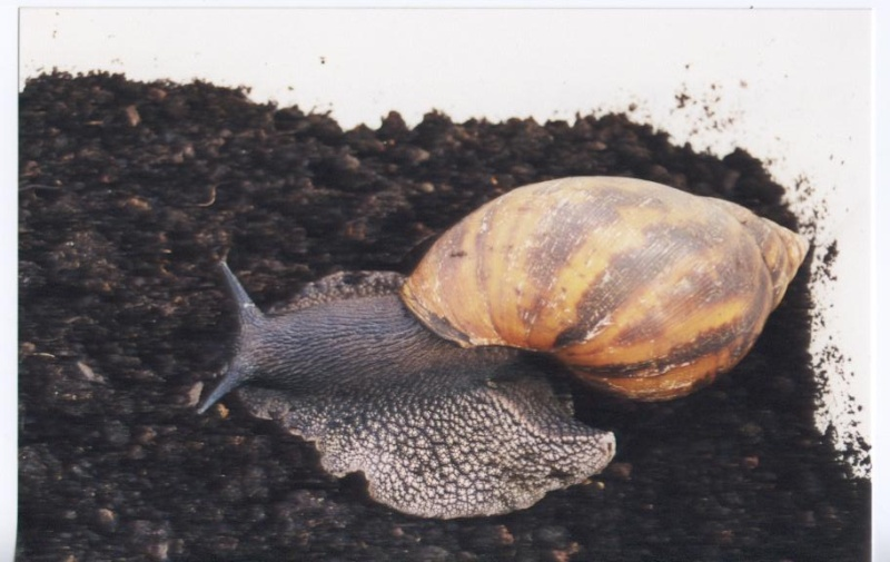 Photo Escargot Tigre - Achatine - Escargot géant du Ghana (Achatina achatina)