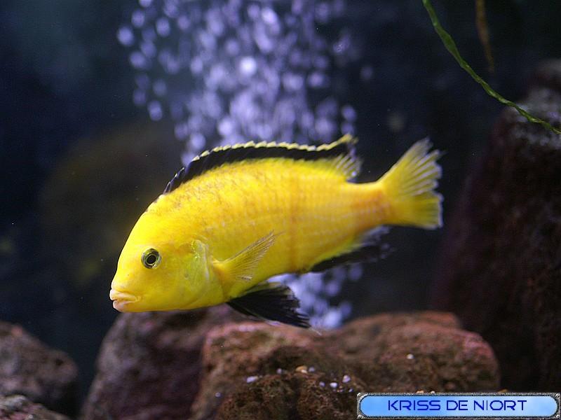 Poisson jaune quel est son nom for Poisson eau douce pas cher