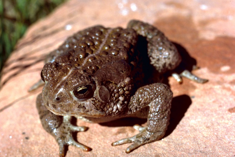 Photo Crapaud de Woodhouse (Bufo woodhousei)