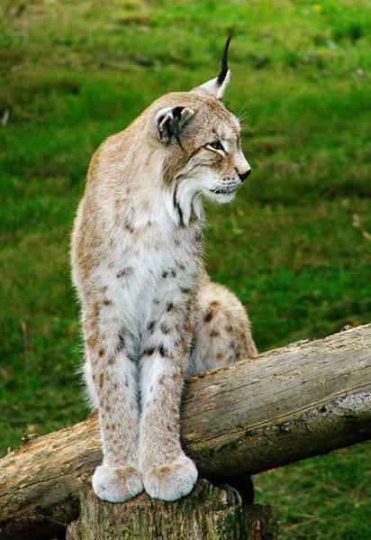 Photo Lynx d'Eurasie (Lynx lynx wrangeli) - lynx boréal lynx commun