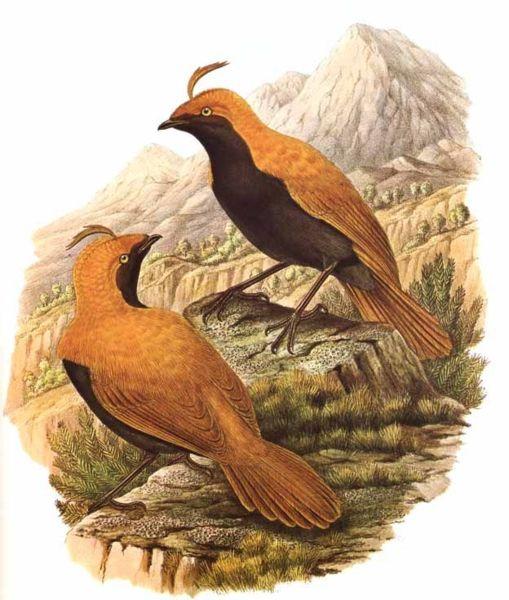 Photo Paradisier huppé (Cnemophilus macgregorii)