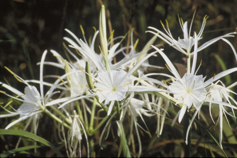 Photo Lys araignée (Hymenocallis littoralis)