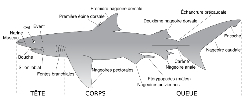 Photo morphologie du requin