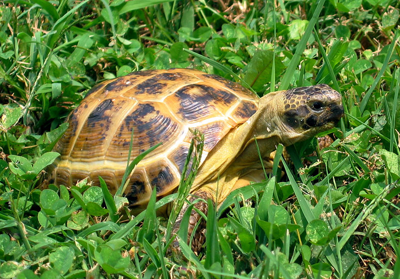 Photo Tortue de Horsfield - Tortue des steppes (Agrionemys horsfieldii)