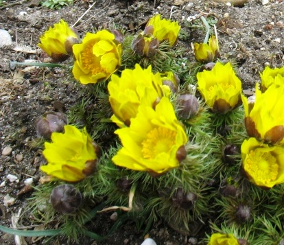 Photo (1) Adonis du printemps (Adonis vernalis)