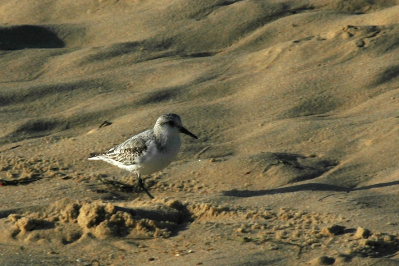 Photo bécasseau sanderling (Calidris alba)