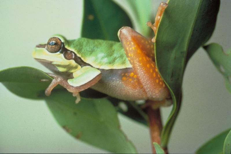 Photo Basilic à crête mâle (Basiliscus plumifrons)