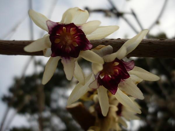 Photo Chimonanthe précoce (Chimonanthus praecox)