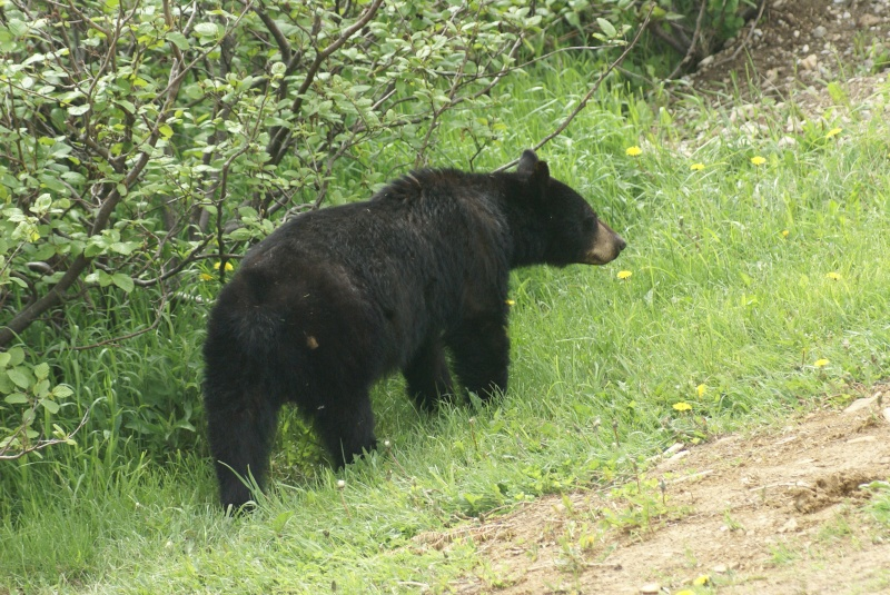 rencontre avec ours noir Blois