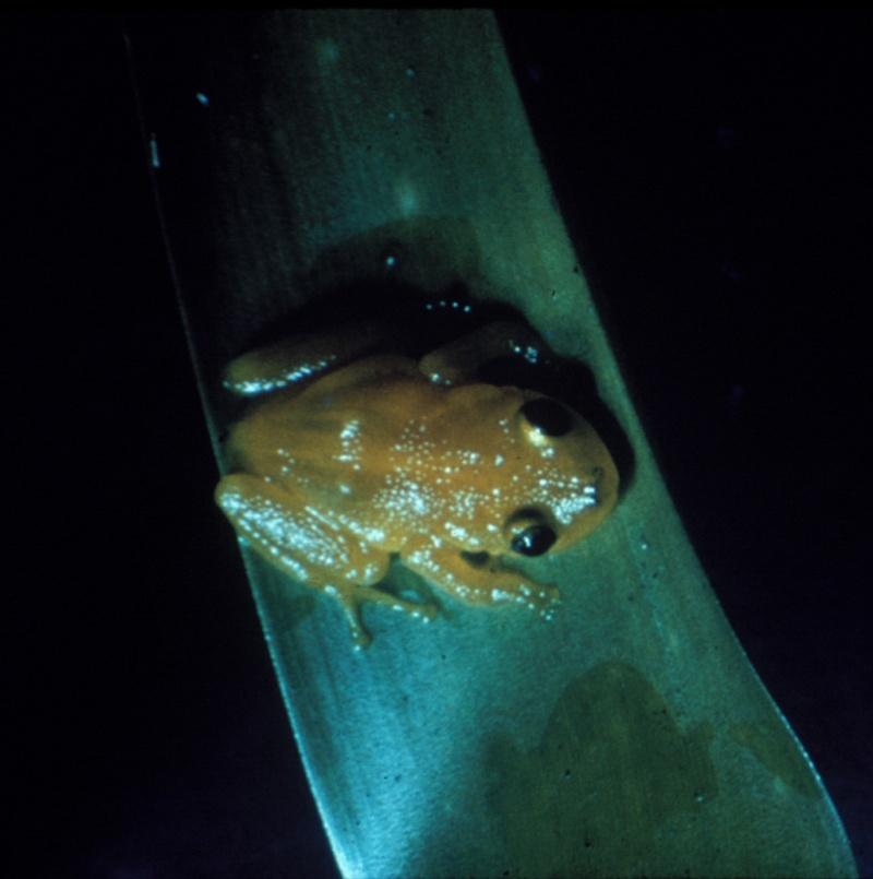 Photo Eleutherodactylus jasperi