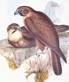 Faucon bérigora - Faucon brun - Falco berigora