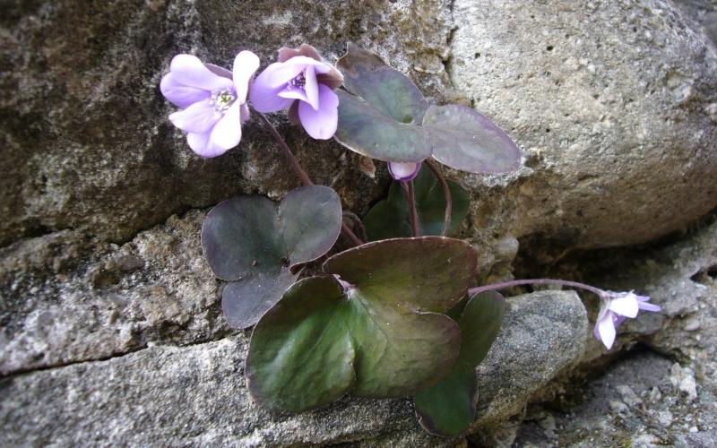 Photo Anémone hépatique (Hepatica nobilis)