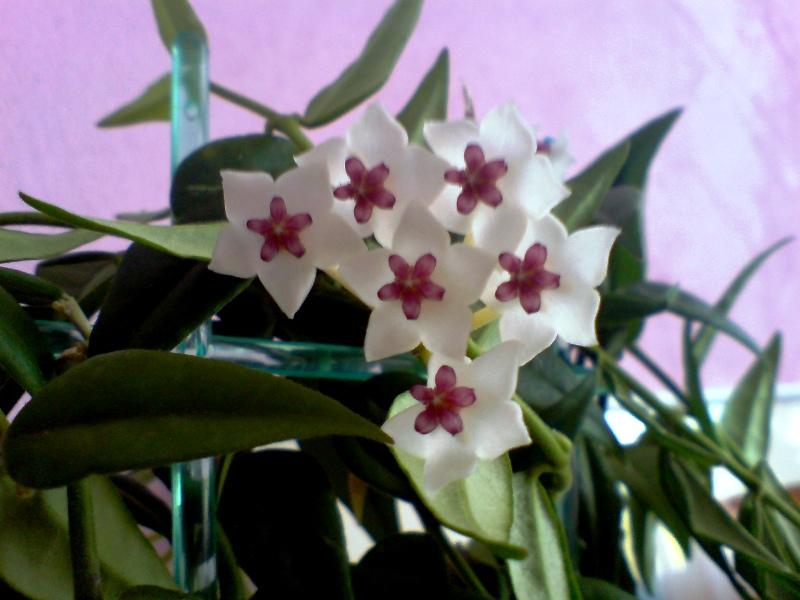 Photo Fleur de porcelaine (Hoya bella)