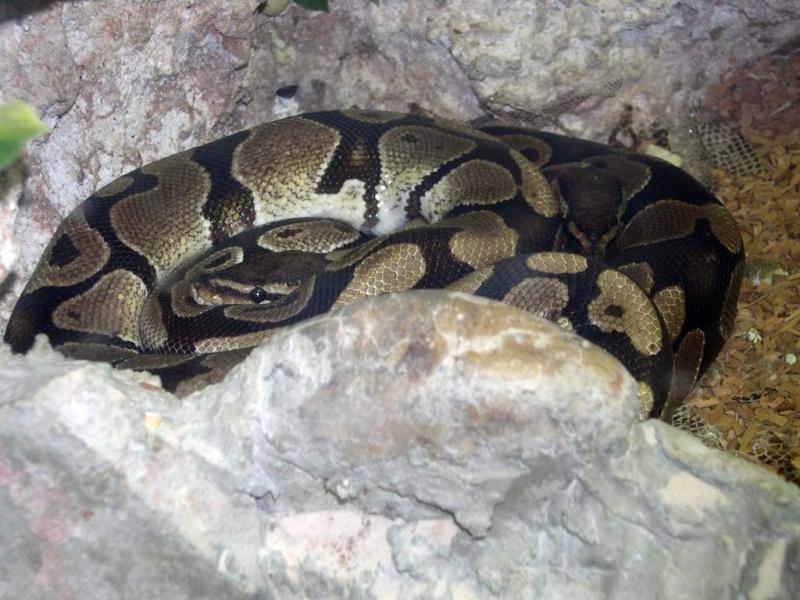 Photo Python royal (Python regius)