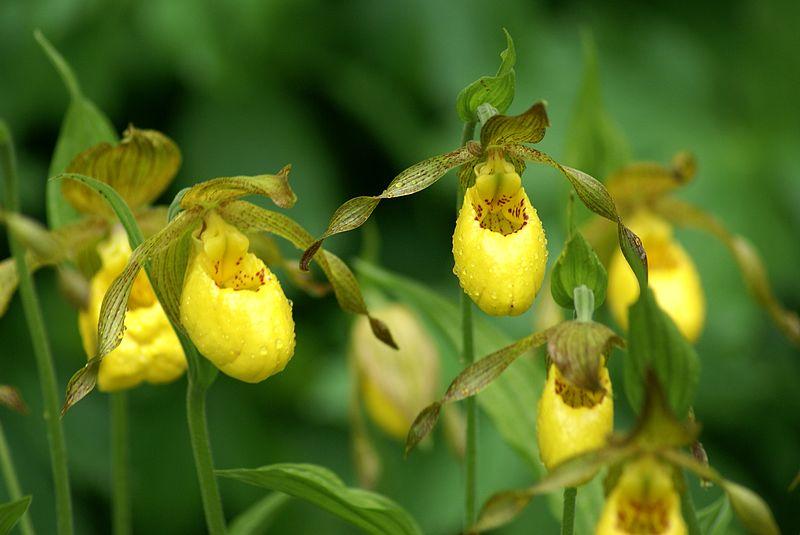 Orchid e du qu bec - Orchidee sabot de venus ...