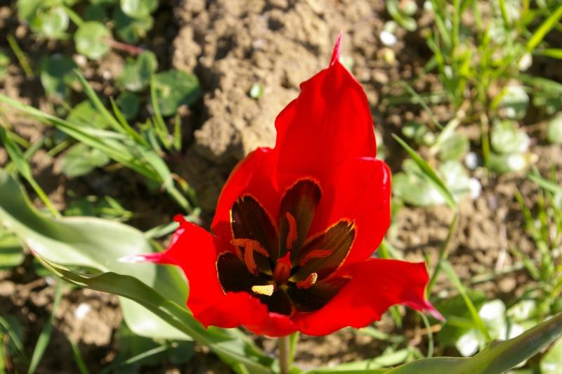 Photo Tulipe d'Agen - Tulipe œil de soleil (Tulipa agenensis)