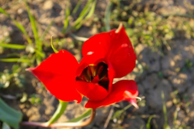 Photo Tulipe précocoe (Tulipa raddii syn. Tulipa praecox)