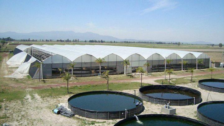 Criadero alevinos del valle colombia for Piscicultura tilapia roja