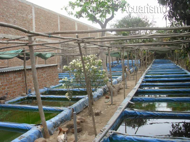 Criadero de oscar marin trujillo for Criaderos de pescados colombia