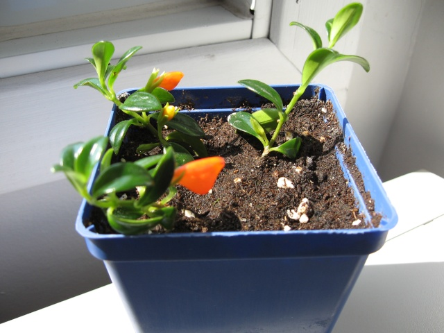 Poisson rouge plante for Plante bocal poisson rouge