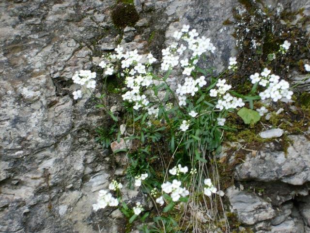 Fleur Montagne Blanche Nom De Fleur Verte Vap Vap