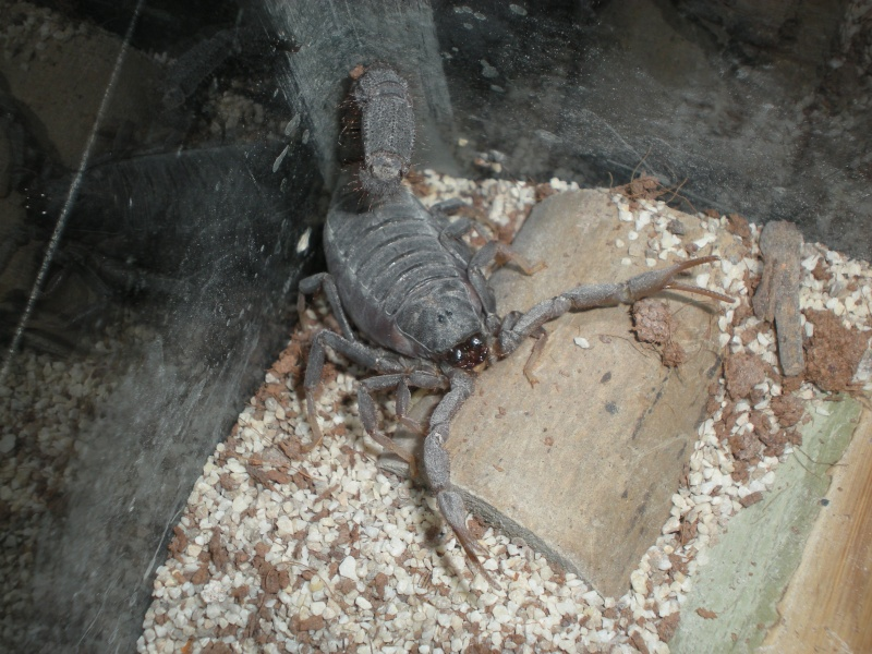 Scorpions in Georgia USA http://www.scorpion-forum.com/t8227-my-scorpions-and-their-enclosure
