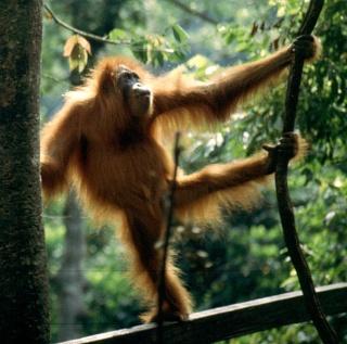 L'orang-outan, un carnivore occasionnel ? Une vidéo le montre