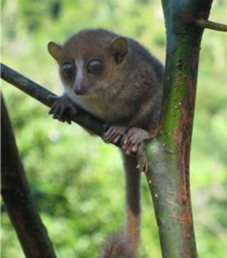 zoologie janvier 2012 nouvelle espèce Madagascar primate mammifère Ute Radespiel forum Microcebus gerpi GERP espèce menacée forêt de Sahafina